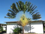 Cool tree at Rarotonga airport