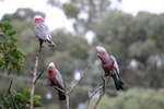 The three wise galahs